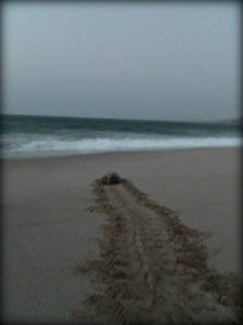 A turtle making her way back to the ocean